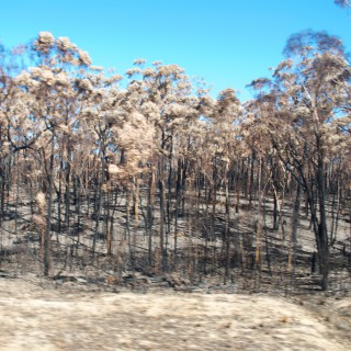 eukalyptusbrand